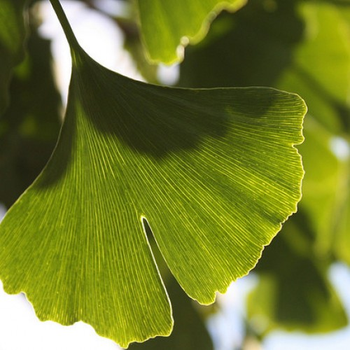Why Ginkgo Biloba May Have Little Effect On Elderly?