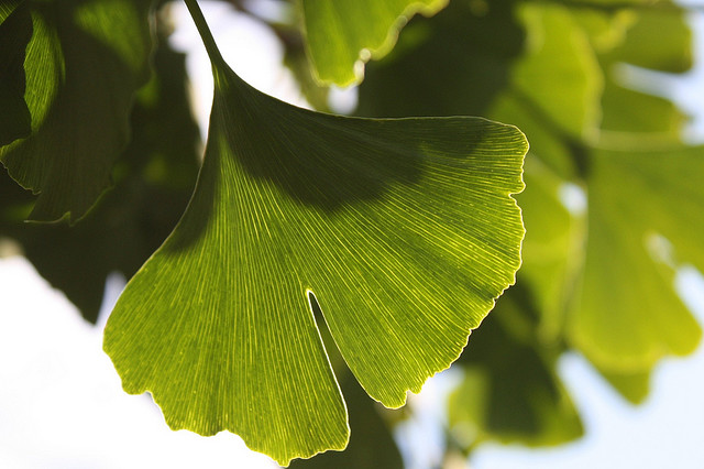Why Ginkgo Biloba May Have Little Effect On Elderly